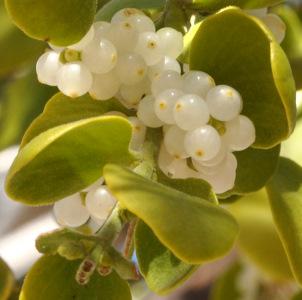 Phoradendron flavescens on Velvet Asn